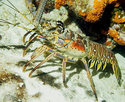 Caribbean Spiny Reef Lobster  Poster by Amy McDaniel
