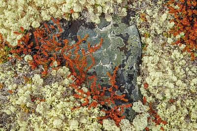Caribou Moss And Lichen Grow Abundatly Poster by Robert Postma