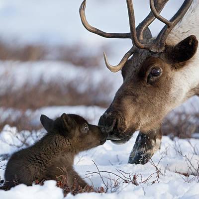 Caribou Mother Nuzzling Calf Poster by Sergey Gorshkov
