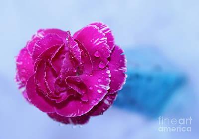 Carnation Of Love Poster by Krissy Katsimbras