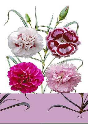Carnations (dianthus Sp.) Poster by Science Photo Library