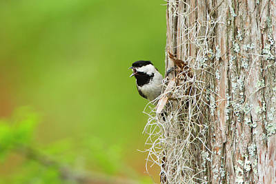 Carolina Chickadee (poecile Carolinensis Poster by Larry Ditto
