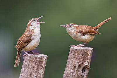 Carolina Wren Serenade Poster by Bonnie Barry