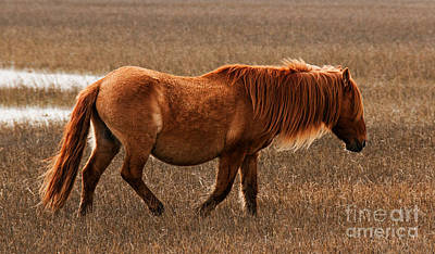 Carrot Island Pony Poster by Sharon Seaward