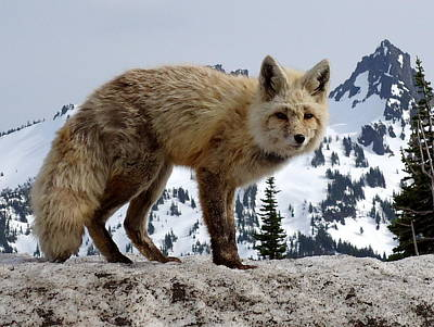 Cascade Red Fox 1 Poster by Peter Mooyman