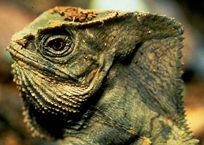Casque-headed Iguana Poster