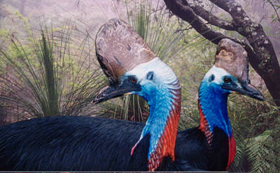 Cassowaries At Home Poster