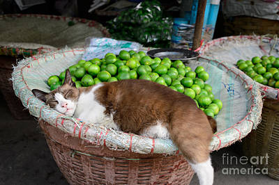 Cat Sleeping Among The Limes Poster