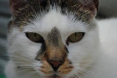 Cat's Stare Poster by Robert  Moss