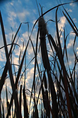 Poster featuring the photograph Cattail Sky by Alicia Knust