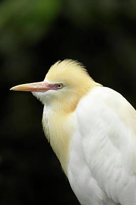 Cattle Egret (ardea Ibis Poster by David Wall