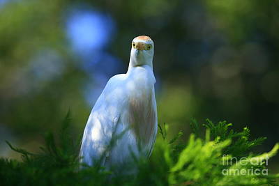 Cattle Egret Eyes Poster