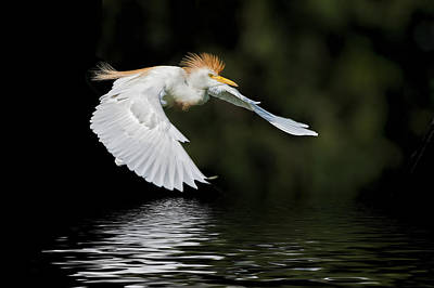 Cattle Egret In Flight Poster by Bonnie Barry