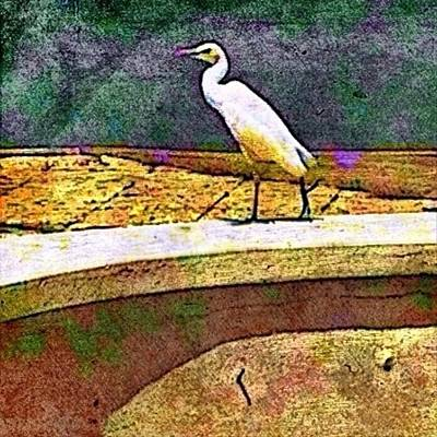 Cattle Egret In Town - Square Poster