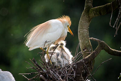 Cattle Egret Tending Her Nest Poster