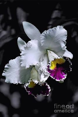 Cattleya Poster by Peter Lessey
