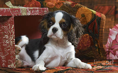 Cavalier King Charles Puppy Poster