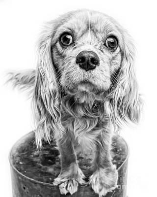 Cavalier King Charles Spaniel Puppy Dog Portrait Poster by Edward Fielding