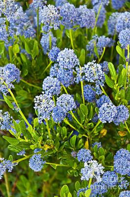 Ceanothus Impressus Santa Barbara Flowering Bush Poster