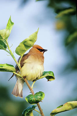 Cedar Waxwing (bombycilla Cedrorum Poster by Richard and Susan Day