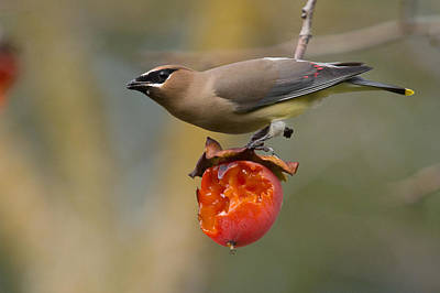 Poster featuring the photograph Cedar Waxwing by Doug Herr