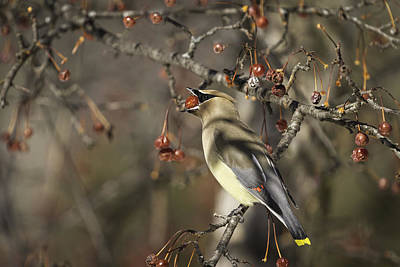 Cedar Waxwing Eating Berries 6 Poster by Thomas Young