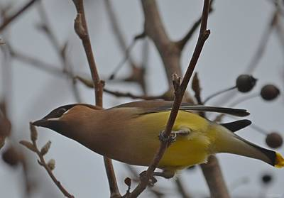 Poster featuring the photograph Cedar Waxwing Feasting In Foggy Cherry Tree by Jeff at JSJ Photography