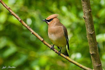Cedar Waxwing Gathering Nesting Material Poster by Jeff Goulden