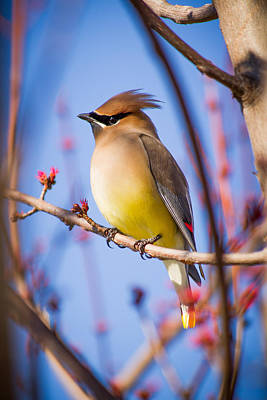 Cedar Waxwing In Winter Poster by Nathaniel Kidd