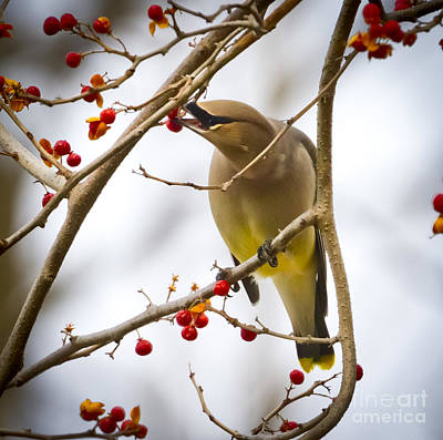 Poster featuring the photograph Cedar Waxwing by Ricky L Jones