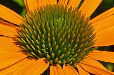 Center  Of Cone Flower Poster by Tikvah's Hope