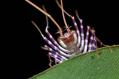 Centipede Head Poster