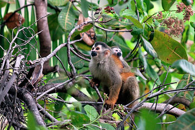 Central American Squirrel Monkeys Poster by Susan Degginger