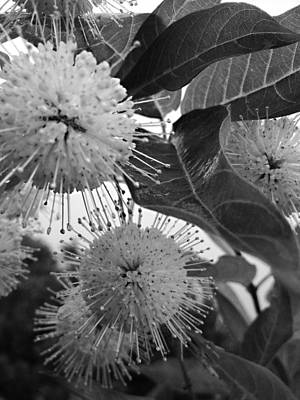 Cephalanthus Occidentalis In Black And White Poster