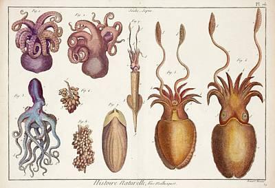 Cephalopod Molluscs Poster by Paul D Stewart