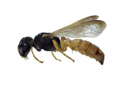 Cerceris Flaviventris Wasp Poster