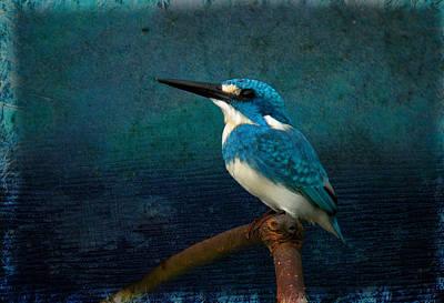 Cerulean Kingfisher Blue Alcedo Coerulescens Poster