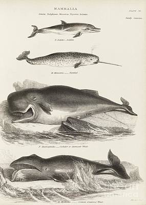 Cetaceans, 19th Century Poster by Middle Temple Library