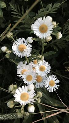 Chamomile Flowers. Poster