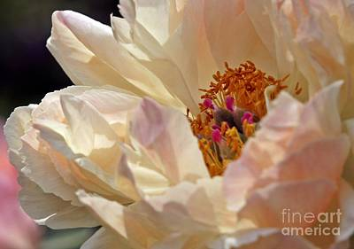Champagne Peony Poster by Lilliana Mendez