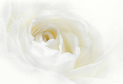 Champagne White Rose Flower  Poster by Jennie Marie Schell