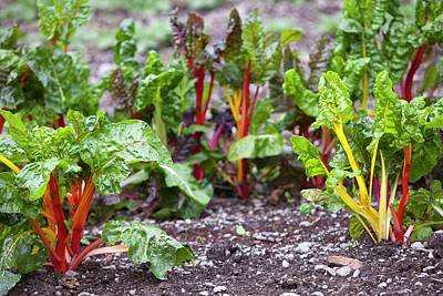 Chard In Vegetable Garden Poster by Ashley Cooper