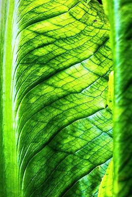 Chard Leaf Detail Poster by Linda Wright