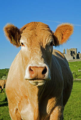 Charolais Cattle,near The Rock Poster by Panoramic Images