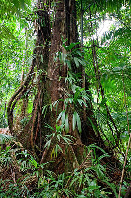 Chataignier Tree, Dominica, West Indies Poster