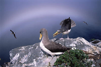 Chatham Albatross Pair On Cliff Chatham Poster by Tui De Roy