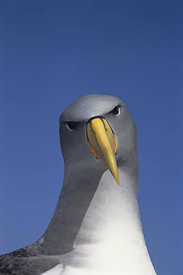 Chatham Albatross Portrait Chatham Poster by Tui De Roy