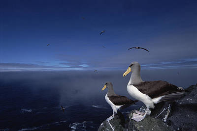 Chatham Albatrosses On A Cliff Edge Poster by Tui De Roy
