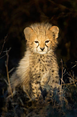 Cheetah Acinonyx Jubatus Cub Poster by Panoramic Images
