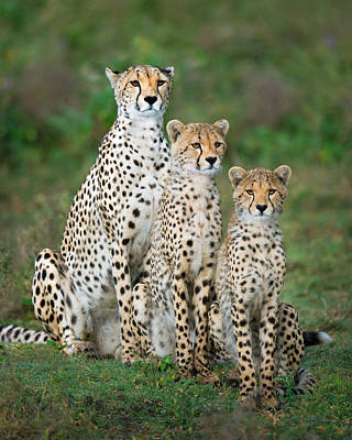 Cheetah Acinonyx Jubatus Family, Ndutu Poster by Panoramic Images